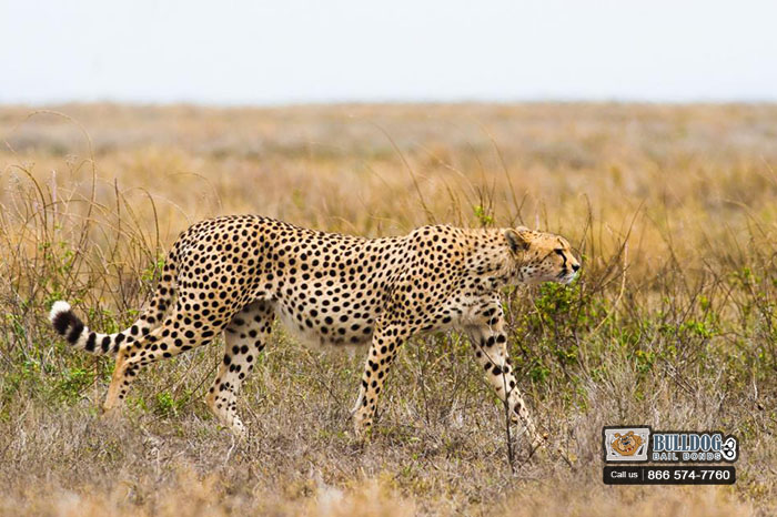 Search and Rescue for a Cheetah